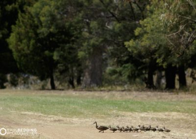 IAA Conference 2015 Golf Day.Ducks on fairway. Photography by Conference Activities Photographer, Paul Redding - Hobart 19
