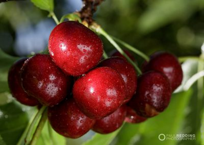 Cherry production Calthorpe Orchards. Sidmouth Tasmania