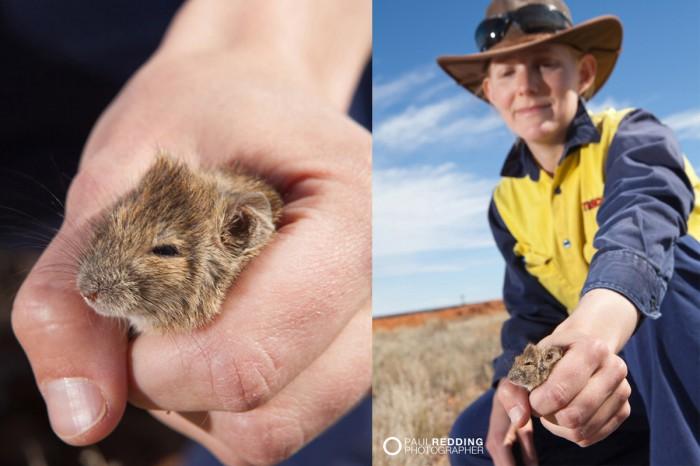 Fauna handling Epic Energy QSN3 by Paul Redding Gas Pipeline photographer Tasmania