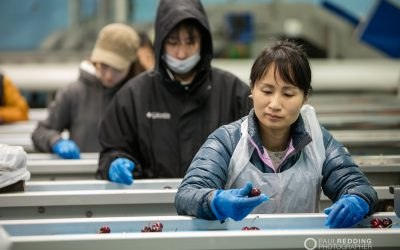 AAAW Cherry Sorting and Packing – Fruit Production Photographer