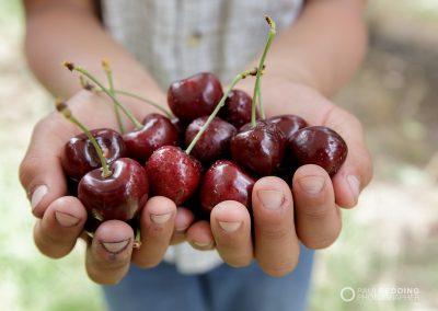 Cherry Production Tasmania. Paul Redding Photographer Tasmania