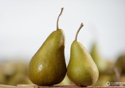 pear production Calthorpe Orchards. Sidmouth Tasmania. Hobart Food Photographer - Paul Redding